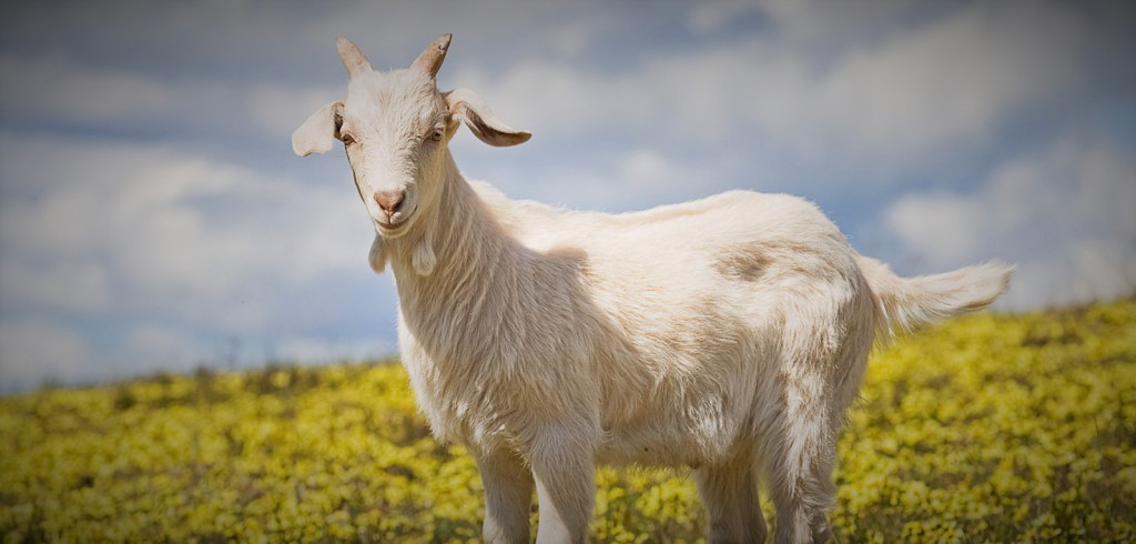 Domestic_goat_kid_in_capeweed